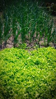 Salatpflanzen und Jungzwiebel